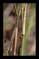 PhotoID: AusDa268. Powdered Wiretail (Rhadinosticta simplex) - female